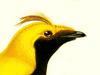Cnemophilidae