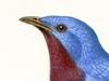Cotingidae