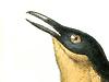 Donacobiidae