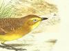 Epthianuridae