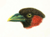 Eurylaimidae