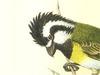 Falcunculidae