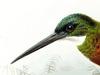 Galbulidae