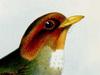 Grallariidae