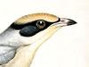 Hypocoliidae