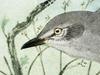 Mimidae