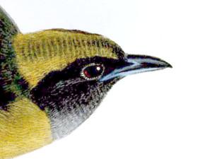 Mitrospingidae