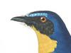 Muscicapidae