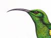 Nectariniidae