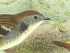 Orthonychidae
