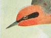 Peucedramidae