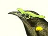 Philepittidae