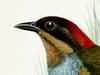 Pittidae