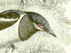 Platysteiridae
