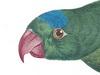 Psittaculidae
