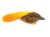 Ptilonorhynchidae