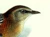 Sarothruridae