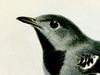 Thamnophilidae