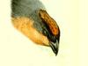 Thraupidae