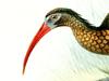 Threskiornithidae