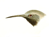 Tichodromidae